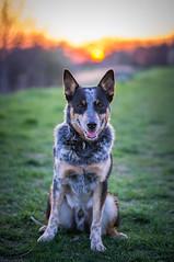 Sunset & Balti (Emese Ruzsa) Tags: acd australian cattle dog blue heeler