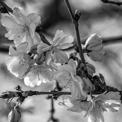 Frühling in schwarz & weiß (p.schmal) Tags: olympuspenf hamburg farmsenberne zierkirsche blüten bw
