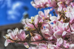 Magnolie (Fil.ippo) Tags: magnolia flower fiore spring springtime blu blue pink white nature natura filippo filippobianchi nikon d610 bloom blooming fioritura milano milan rosa bianco blossom