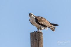 Osprey keeping close watch