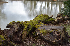 Moss Covered Fallen Trunk (Bri_J) Tags: nostellpriory nationaltrust westyorkshire uk statelyhome yorkshire nikon d7200 moss trunk lake