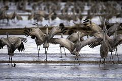 Sandhill Cranes (aurospio) Tags: nebraska bird crane sandhillcrane gruscanadensis cranetrust platteriver