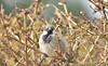 Grumpy pants 😂...xx (shona.2) Tags: sparrow bird grumpy bush