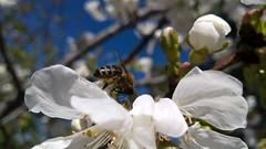 Chercher la petite bête... (Isa****) Tags: abeille bee fleurs flowers cerisier cherry tree ciel bleu blue sky céret pyrénées orientales france printemps spring