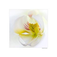 High Key (g.femenias) Tags: orchid highkey highkeylighting flower macrophotography upbeatmood extensiontubes