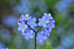 Today's find.. heart shaped forget-me-not! (Nina_Ali) Tags: forgetmenot flora blue depthoffield bokeh softfocus heartshape spring2018 england leicester