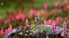 Rosy Pipit (S.M. Ali Javed) Tags: rosy pipit bird birding birdsofpakistan wildbirds wildlife wild wildplanet wildlifereserve wildlifeofpakistan wildbirdtrust wikipedia wilderness natgeo nature natural natgeoyourshot naturallight