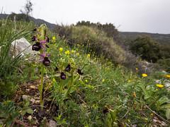 Ophrys bertoloniiformis O. & E. Danesch. (f.mangili) Tags: ophrys bertoloniiformis bertoloni flora gargano wild nature monte sacro mattinata apulia