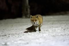 The mini beast from the east (Paul Wrights Reserved) Tags: fox foxy nightphotography nighttime snow snowfox eye eyes ears looking lookingatthecamera look shadows shadow mammal mammals