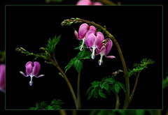 Bleeding hearts  with black cardboard as Background  Today Spring beginning (scorpion (13)) Tags: bleeding hearts spring beginning today flower plant blossom nature frame color creative photoart black cardboard background