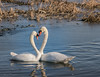 Nikon 70-210mm f/4  E (jheanvitriago) Tags: nature naturaleza swam cisne nikon d600