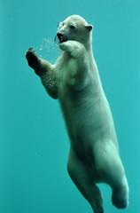 Ursus maritimus - Polar bear (Going to the Zoo with Trebaruna) Tags: 25082011 2011 netherlands rotterdam rotterdamzoo diergaardeblijdorp diergaarderotterdam diergaarde animal zooanimal