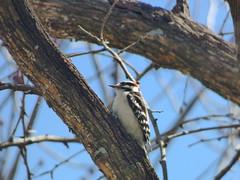 Downy Woodpecker, March 20, 2018, Bradfield Park, Garland, Texas (gurdonark) Tags: downy woodpecker bird birds wildlife bradfield park garland texas