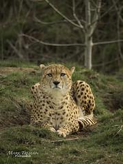 Posed (Through-my-eyes.) Tags: cheetah cheetahs spots wildlife animal cat wild carnivore dartmoorzoo enclosure enclosed trees wildanimal wood grass tree forest dartmoor dartmoorzoologicalpark sparkwell ngc