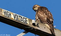 High Voltage Predator (Ronda Hamm) Tags: hawk nature canon 100400mkii animal california birdofprey redtailedhawk look bird powerline canon7dii stare juvenile wildlife pointreyesnationalseashore highvoltage