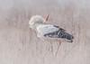 White Stork enjoying the snow! (ToriAndrewsPhotography) Tags: white stork snow denmark copenhagen photography andrews tori bird bokeh