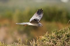 Pallid Harrier male_w_0093 (Daly Wildlife) Tags: circusmacrourus pallidharrier cyprus migration birdsofprey raptor quartering hunting maleharrier mediterraneansea middleeast wintersafrica greywhitebird circling