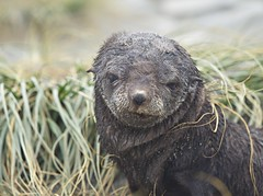 Fur seal pup 5, South Georgia (nisudapi) Tags: seal pup sealpup furseal cute babywildlife2018antarcticaquarkocean diamondsouth georgiasalisbury plain