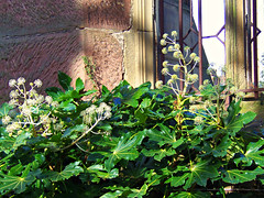 The Bombed Out Church, Liverpool, England (teresue) Tags: 2017 england uk unitedkingdom merseyside liverpool greatbritain church bombedoutchurch stlukeschurch gradeii fatsiajaponica