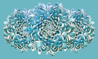 Blue Chrysanths