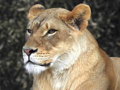 3390ex  regal queen (jjjj56cp) Tags: lion lioness female regal queen portrait closeup cincinnatizoo feline bigcats jennypansing fur whiskers eyegleam dof bokeh watchful gazing