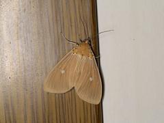 Asota caricae (dhobern) Tags: 2018 china lepidoptera march xtbg xishuangbanna yunnan erebidae aganainae asotacaricae