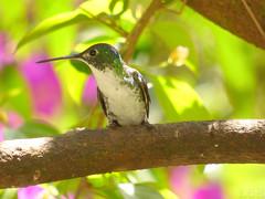 Amazilia franciae (Luis G. Restrepo) Tags: trochilidae p2930896 amaziliaandina andeanemerald amaziliafranciae ave bird birdwatching montezuma tatamá southamerica colibrí hummingbird