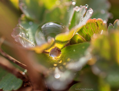 The magaic of nature (Sandra Hieber) Tags: tautropfen tropfen drops frühling spring canon bayern bavaria green grün gras grass makro macro light licht color farbe sunlight sunshine bokeh dew dewdrops sunbeams sonnenstrahlen sunrays beautiful nature natur