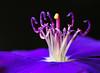 hidden beauty... (tdwrsa) Tags: canoneos70d ef100mmf28macrousm extensiontubes purpleglorytree tibouchinagrandiflora pistil stamen purple