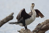 NZ Pied Shag (rogsykes) Tags: shag sonya77ii tamron birdlife