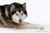 Malamute (My Planet Experience) Tags: alaskan malamute alaska greenland groenland dog snowdog animal sled sledge sleigh musher mushing pulka pulk skijoering race racing running snow winter eskimo esquimau myplanetexperience wwwmyplanetexperiencecom