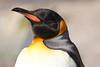 King Penguin (charliejb) Tags: kingpenguin penguin birdlandparkandgardens birdland bourtononthewater bourtonuponwater cotswold 2018 feathered feathers beak black white orange flightless aptenodytespatagonica