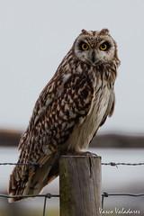 Coruja-do-nabal, Short-eared Owl (Asio flammeus) (Vasco VALADARES) Tags: corujadonabal shortearedowl asioflammeus