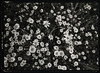 Camomile 2018-03-18_04 (Thodoris Tzalavras) Tags: bw blackandwhite film filmphotography xray xrayfilm fujifilm fujihre largeformatcamera largeformatphotography viewcamera rittreckview superangulon darkroom ilford 13x18 5x7 cyprus landscape spring flowers camomile filmisnotdead analogphoto cy