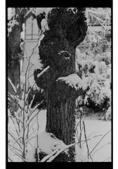 P60-2018-016 (lianefinch) Tags: argentique argentic monochrome blackandwhite blackwhite bw noirblanc noiretblanc nb nature analogique arbre tree analog jardin garden hiver winter snow neige frozen gelé