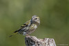 Spinus spinus  ♀︎ (Lucherino, Siskin). (Ciminus) Tags: afsnikkor300mmf28gedvrii siskin spinusspinus naturesubjects wildlife ornitologia nikond500 nature ciminus birds oiseaux aves ciminodelbufalo ornitology uccelli lucherino