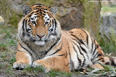 Siberian Tiger - Zoo Duisburg (Mandenno photography) Tags: animal animals siberian siberische tiger amur tijger tigers tijgers zoo zooduisburg duitsland duisburg bigcat big cat germany ngc nature