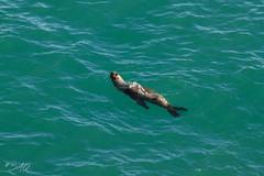 Ya casi llego (saqramone) Tags: argentina canon canoneos canoneos500d canoneosrebelt1i canonrebelt1i canont1i chubut puertomadryn rebelt1i travel trip nature sea seawolf swimming viaje wildlife
