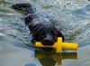 DSCF6249 (bc-schulte) Tags: labrador wasser water schwarz black spielen schwimmen hund dog tier
