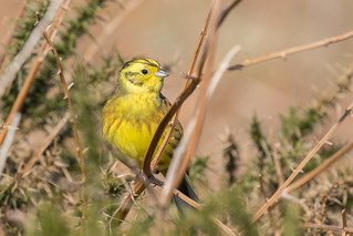 Male Yellowhammer in Cover