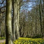 Forest daffodils thumbnail