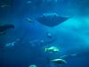沖縄美ら海水族館, Okinawa aquarium, japan (yuyugreen) Tags: 日本 沖縄 水族館 水 青 魚 japan okinawa aquarium fish blue water