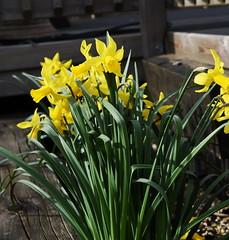 DSC_8930 (PeaTJay) Tags: nikon england uk gb royalberkshire reading winnersh flowers plants daffodils