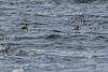 Red-breasted Merganser , Harricott (frank.king2014) Tags: redbreastedmerganser northharbour newfoundlandandlabrador canada ca