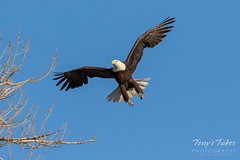 Female Bald Eagle returns to the nest - 7 of 29