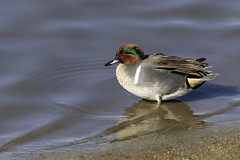 Male Green-winged Teal in breeding plumage (Alan Vernon.) Tags: canoneos1dxmkii copyrightalanvernon2018 greenwinged teal bird male green winged breeding plumage anas carolinensis avian duck nature wild wildlife birding birdwatching california refuge wetlands