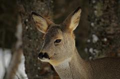 frøken....... (KvikneFoto) Tags: rådyr roedeer tamron nikon natur norge hedmark kvikne vinter winter snø snow 2018 bokeh