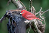 Summer Tanager (tspine) Tags: chilamate costarica heredia selvaverde summertanager