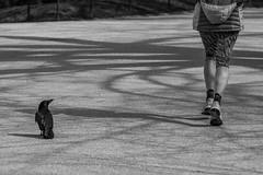 Le mépris. (Adrien GOGOIS) Tags: noir et blanc black white sony a6000 vintage old lens konica hexanon 135mm f32 manual raven crow running run corbeau corneille parc animal