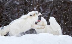 Foxy Fight (Ania Tuzel Photography) Tags: nature arcticfox animal vulpusvulpus canada fight snowing montebello omega quebec lisyarktyczne 200400